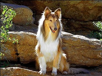 Collie (Rough)